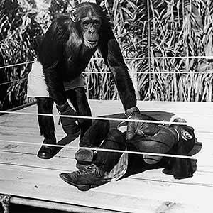 box_g_chimpance